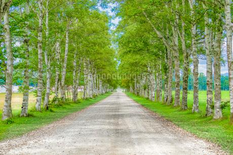 白樺の並木道の写真素材 [FYI03417756]