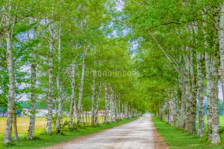 白樺の並木道の写真素材 [FYI03417770]