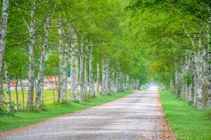 白樺の並木道の写真素材 [FYI03417771]