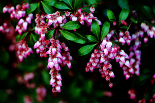 ベニバナアセビの花の写真素材 [FYI03417839]