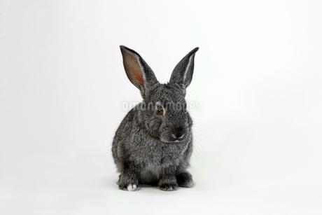 白背景前の子供黒ウサギの写真素材 [FYI03417842]