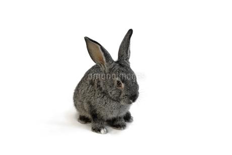 白背景前の子供黒ウサギの写真素材 [FYI03417843]