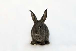 白背景前の子供黒ウサギの写真素材 [FYI03417844]