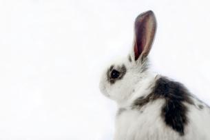 白背景前の子ウサギのアップの写真素材 [FYI03417845]