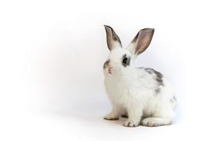 白背景の1匹の子ウサギの写真素材 [FYI03417850]