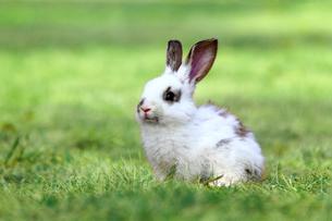 草原の中の1匹の子ウサギの写真素材 [FYI03417851]