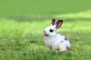 草原の中の1匹の子ウサギの写真素材 [FYI03417852]