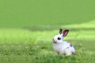 草原の中の1匹の子ウサギ定の写真素材 [FYI03417853]