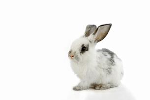 白背景の1匹の子ウサギの写真素材 [FYI03417855]