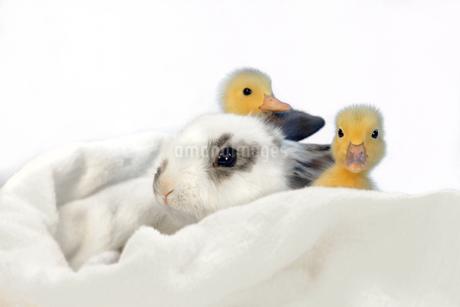 子うさぎと2羽のアヒルの雛の写真素材 [FYI03417863]