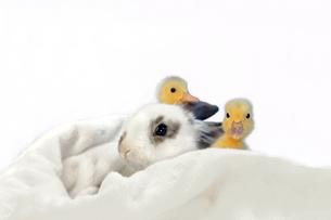 子うさぎと2羽のアヒルの雛の写真素材 [FYI03417864]