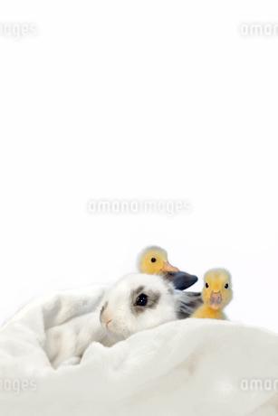 子うさぎと2羽のアヒルの雛の写真素材 [FYI03417865]