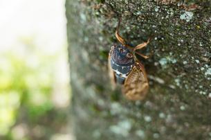 アブラゼミが木に留まっている様子の写真素材 [FYI03418263]