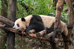 パンダの写真素材 [FYI03418321]