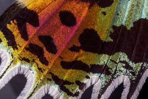 蛾の翅 ニシキオオツバメガの写真素材 [FYI03418372]