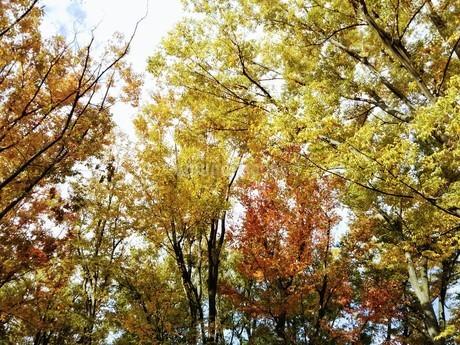 色付く秋の葉の写真素材 [FYI03418378]