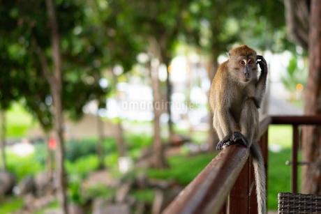インドネシアの猿の写真素材 [FYI03418390]