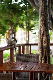 インドネシアの猿の写真素材 [FYI03418391]
