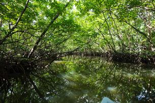 マングローブジャングルの写真素材 [FYI03418401]