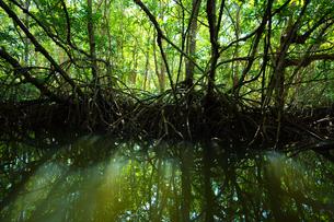 マングローブジャングルの写真素材 [FYI03418402]
