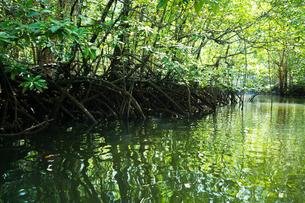 マングローブジャングルの写真素材 [FYI03418409]