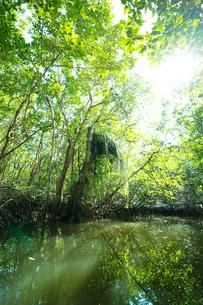 マングローブジャングルの写真素材 [FYI03418410]