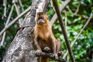 マングローブの木に座るレンソイス砂漠のオマキザルの写真素材 [FYI03418550]
