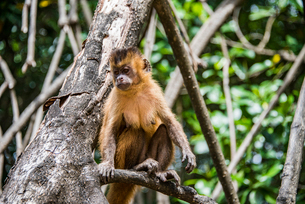 レンソイス砂漠のマングローブ林に暮らすオマキザルの写真素材 [FYI03418552]