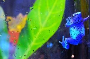 青いカエルの写真素材 [FYI03418729]