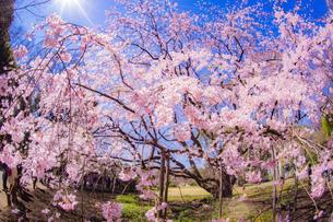 枝垂れ桜と晴天の青空の写真素材 [FYI03418775]