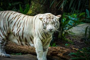 ジャングルに佇むホワイトタイガーの写真素材 [FYI03418777]