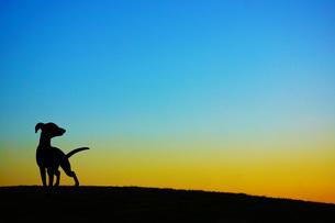 夕暮れの丘に立つ犬のシルエットの写真素材 [FYI03418796]