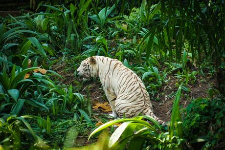 ジャングルに佇むホワイトタイガーの写真素材 [FYI03418799]