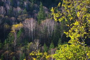 晩秋の木々 大雪山の写真素材 [FYI03419402]