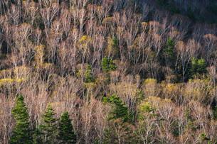 晩秋の木々 大雪山の写真素材 [FYI03419420]