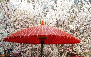 公園の桜と日傘の写真素材 [FYI03419655]