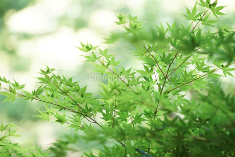 初夏の緑の写真素材 [FYI03419697]