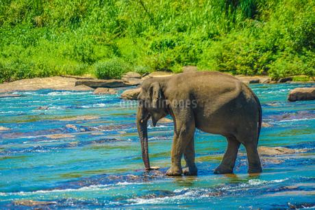 野生の象のイメージ(スリランカ・ピンナワラ)の写真素材 [FYI03420013]