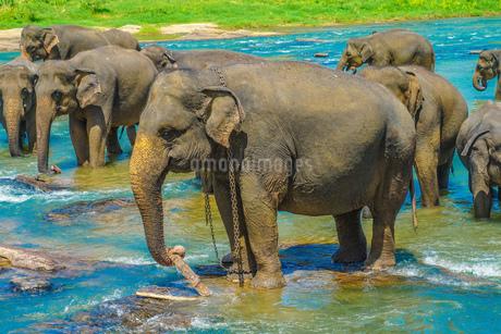象の孤児院(スリランカ・ピンナワラ)の写真素材 [FYI03420021]