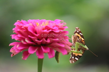 蝶を捕まえたカマキリの写真素材 [FYI03420114]
