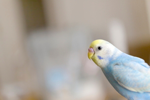 セキセイインコ 若鳥の写真素材 [FYI03420213]