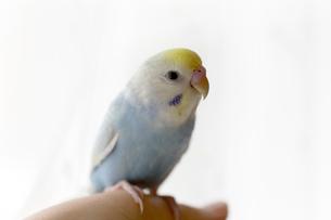 セキセイインコ 若鳥の写真素材 [FYI03420214]