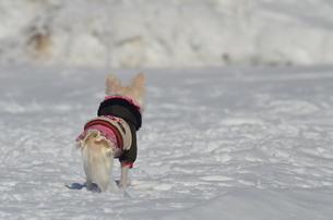 犬 チワワ 雪景色の写真素材 [FYI03420253]