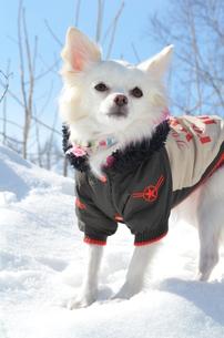 犬 チワワ 雪景色の写真素材 [FYI03420254]