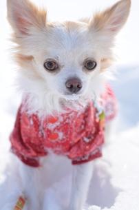 犬 チワワ 雪の写真素材 [FYI03420255]