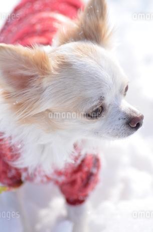 犬 チワワ 雪の写真素材 [FYI03420258]