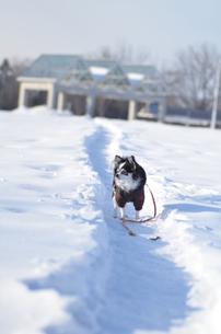 犬 チワワ 雪の写真素材 [FYI03420259]