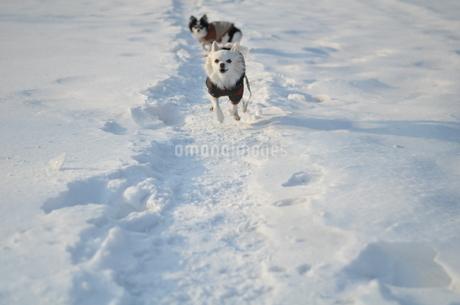 犬 チワワ 雪 の写真素材 [FYI03420260]