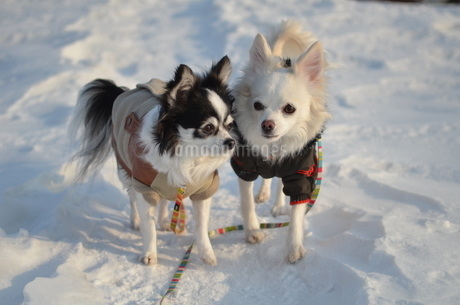 犬 チワワ 雪の写真素材 [FYI03420261]