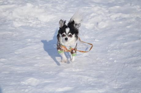 犬 チワワ 雪の写真素材 [FYI03420262]